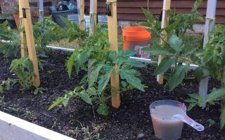 Хлебная подкормка для помидор, как вносить, отзывы – все о помидорках