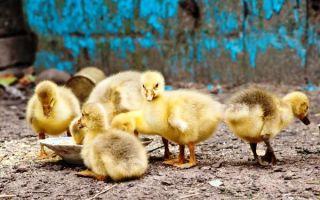 О кормлении гусят в первые дни жизни: виды кормов с первого дня после инкубатора