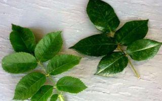 О прививке розы на шиповник летом в домашних условиях: пошаговая инструкция
