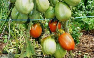 Томат столыпин: отзывы, фото, урожайность, характеристика и отзывы – все о помидорках