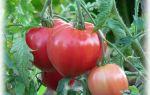 Томат абаканский розовый: характеристика и описание сорта, отзывы, фото, кто сажал – все о помидорках