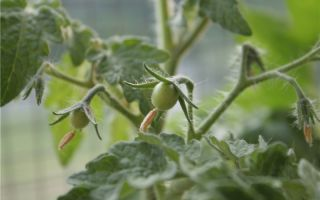 Кусты томатов поедает колорадский жук, чем травить – все о помидорках