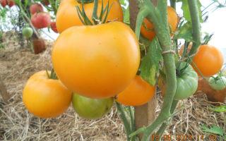 Томат кума: характеристика, описание сорта, отзывы, фото, урожайность – все о помидорках