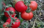 Томат цифомандра: характеристика и описание сорта, отзывы, фото, кто сажал – все о помидорках