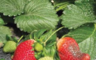 О клубнике альба: описание и характеристики сорта, посадка, уход, выращивание