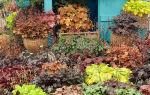 О видах гейхеры кроваво-красной: описание, как посадить и ухаживать