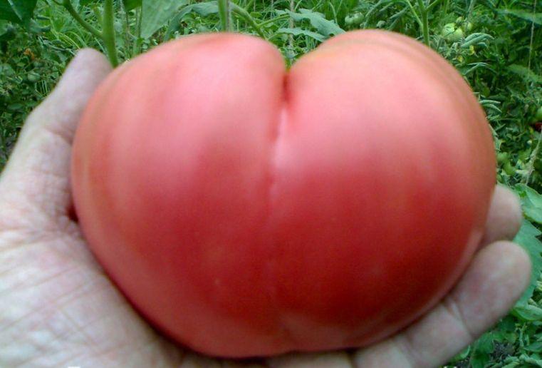 помидоры бычье сердце описание сорта фото отзывах процедуре упоминается