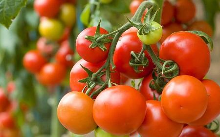 Как опрыскивать сывороткой помидоры – 3 варианта обработки