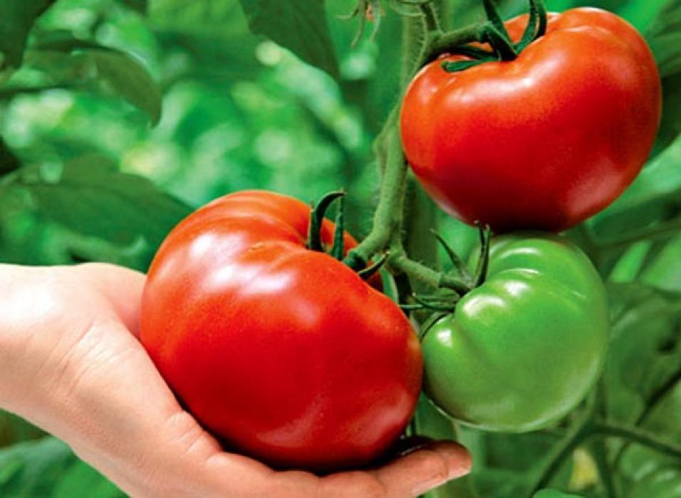 Почему кислые помидоры в теплице