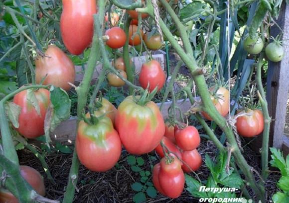 безпасынковые помидоры сорта для теплиц