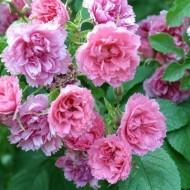 О розе морщинистой: описание и характеристики разновидностей и сортов ругозы