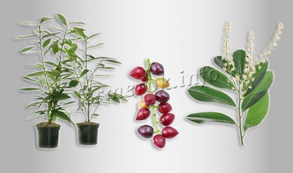 О лавровишне: лекарственные свойства вечнозеленого растения, описание