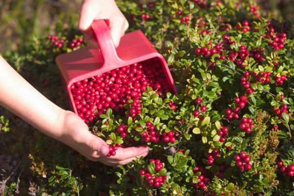 О граблях: валковые, конные, поисковые, для сбора ягод и сеноуборочные