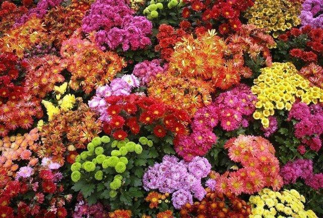 О маленьких (мелких, карликовых) многолетних хризантемах: посадка и уход