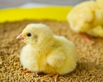 О лечении болезней бройлеров и цыплят в домашних условиях: почему и что делать