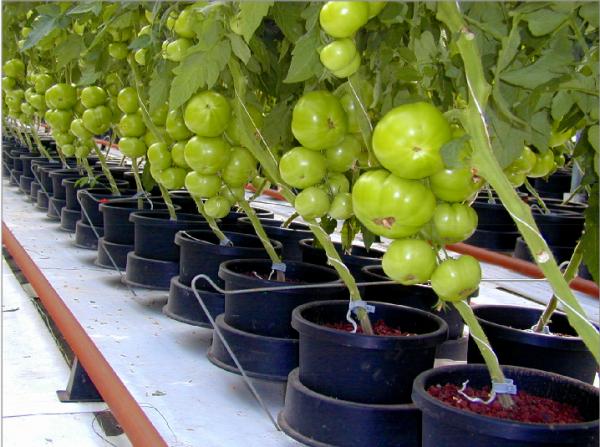 О гидропонике своими руками для огурцов и томатов: выращивание в домашних условиях