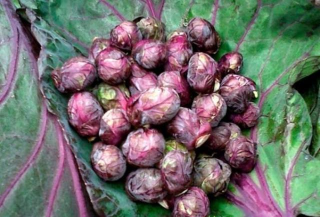 О брюссельской капусте: описание и характеристика бельгийского сорта