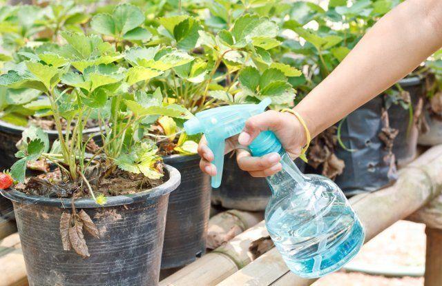 О подкормке клубники: когда и как удобрять для получения хорошего урожая