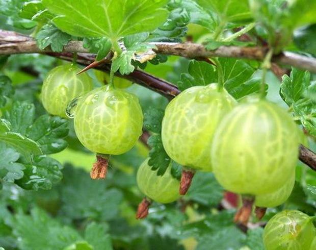 О крыжовнике юбиляр: описание и характеристики сорта, уход и выращивание