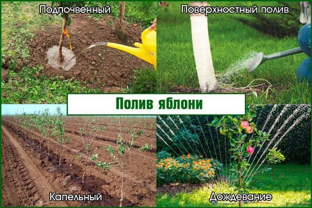 О поливе яблонь весной: как часто поливать яблони, весной, летом, осенью
