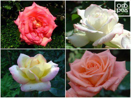 О лучших, популярных видах роз: классификация, уход и выращивание