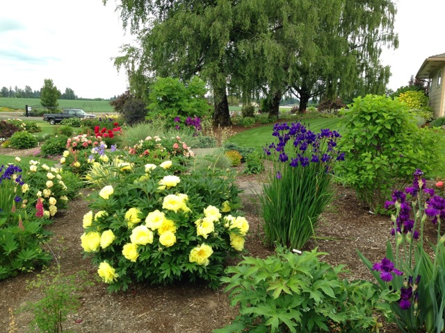 О желтых пионах: описание и история сорта, растения, посадка, размножение, уход