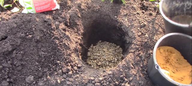 О можжевельнике стрикта китайский: описание сорта, как посадить и ухаживать