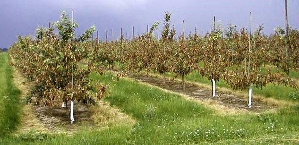 О вредителях груши: методы борьбы с вредителями на листьях, обработка