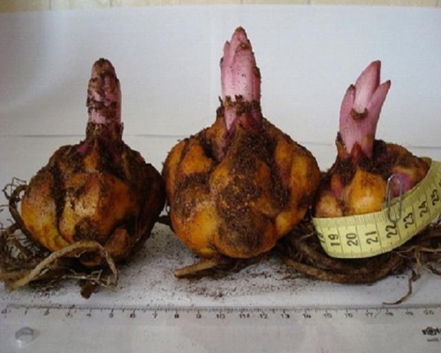 О посадке и уходе за лилией азиатской в открытом грунте и в домашних условиях