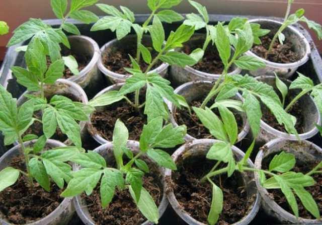 Какие удобрения необходимы при посадке томатов в теплицу: что вносить в грунт