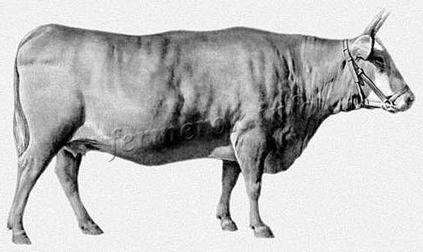 О калмыцкой породе коров и быков: описание и характеристики, содержание, уход