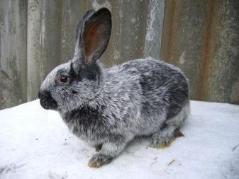 О кроликах серебро: основные разновидности породы, описание и характеристики