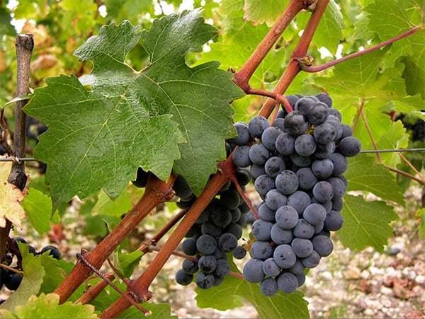 О винограде каберне совиньон: описание и характеристики сорта, посадка и уход