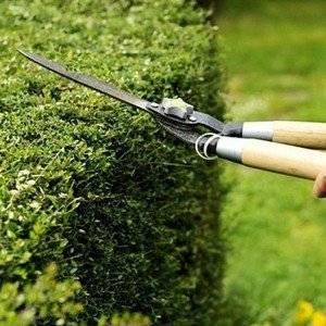 О живых изгородях: как высаживать, правильный уход, обрезка и формирование