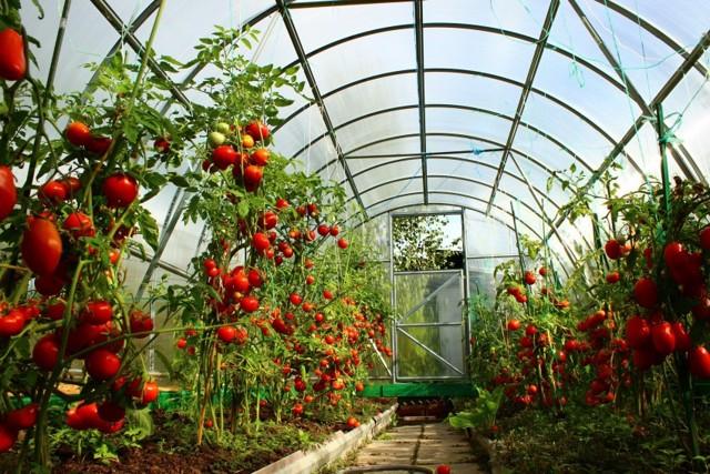 Как сделать шпалеры (подпорки) для томатов в открытом грунте своими руками