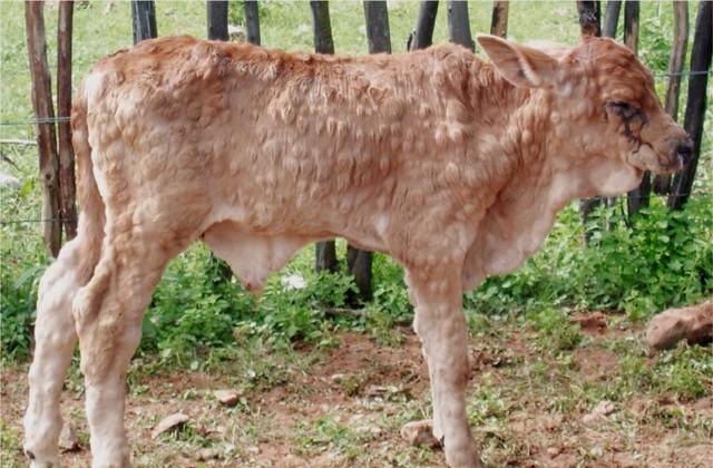 О нодулярном дерматите крупного рогатого скота (инструкция по лечению)