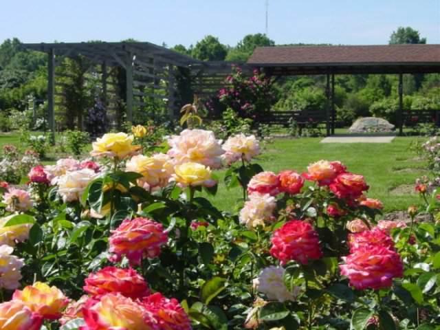 О пересаживании роз с одного места на другое: когда можно и как правильно