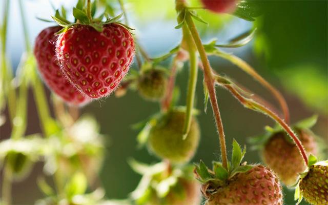 Нашатырь и аммиак для клубники весной: подкормка, полив, опрыскивание растения