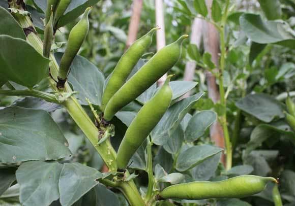 О выращивании и уходе за бобами в открытом грунте, на даче, в домашних условиях