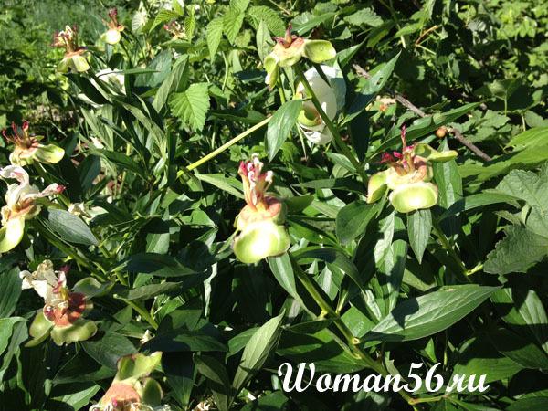 О древовидном пионе: посадка, выращивание, уход, размножение, как выглядит