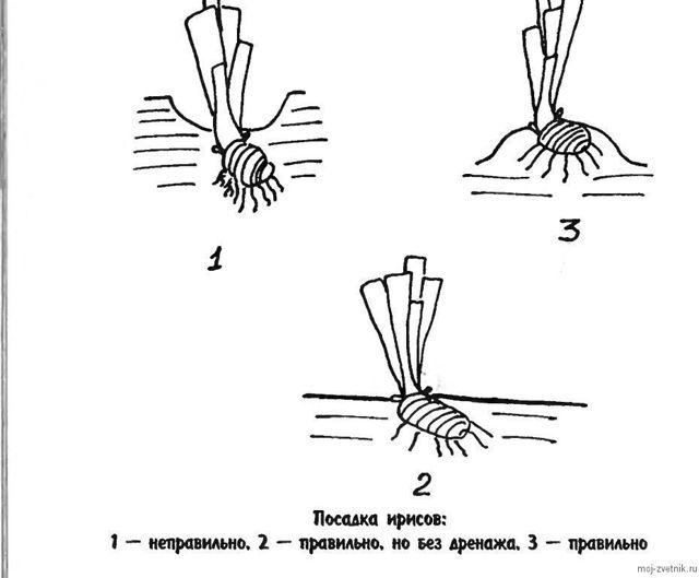 О посадке ирисов в открытый грунт (когда и как правильно сажать, схема)