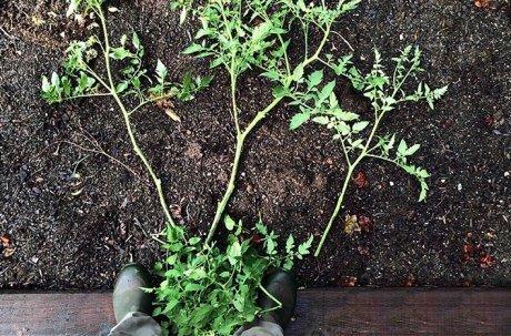 О посадке переросшей рассады томатов: как высаживать, можно ли обрезать