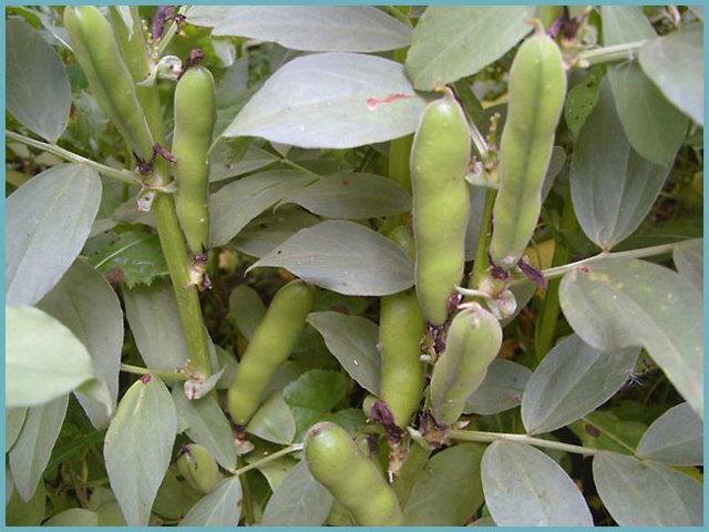 О выращивании русских черных бобов: характеристики, как сажать и ухаживать