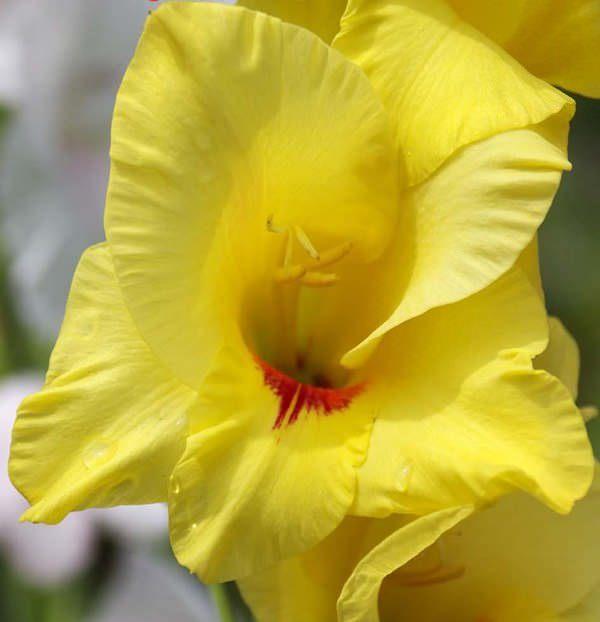 О посадке и уходе за гладиолусами в открытом грунте, размножение семенами