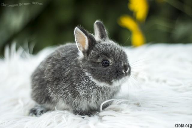 О породах декоративных кроликов: какие бывают разновидности и как узнать породу