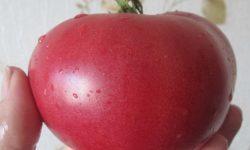 Малиновый слон: описание сорта томата, характеристики помидоров, посев