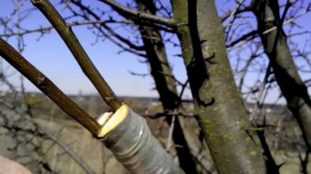 О персиковом дереве: посадка, выращивание из саженца, как привить