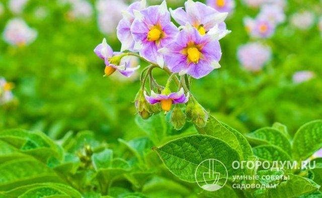 Лорх: описание семенного сорта картофеля, характеристики, агротехника