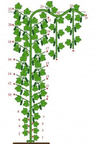 О пасынковании огурцов: как правильно обрезать, обрывыть лишние ветви (схема)