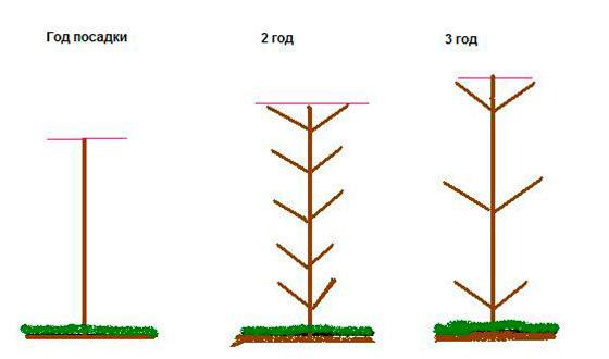 О колоновидной черешне: описание, характеристики сортов, посадка и уход
